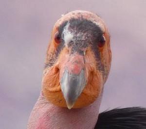 Charley Carlin - Curious Condors